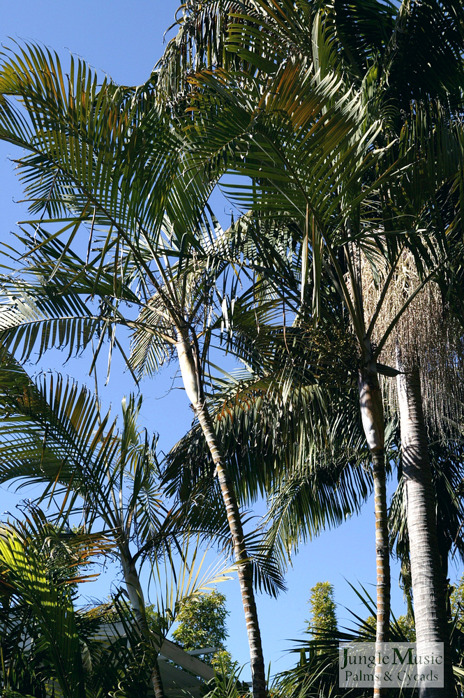 ../gallery2/gallery//large/palms/Dypsis_lutescens7_oceanfront-01072006.JPG
