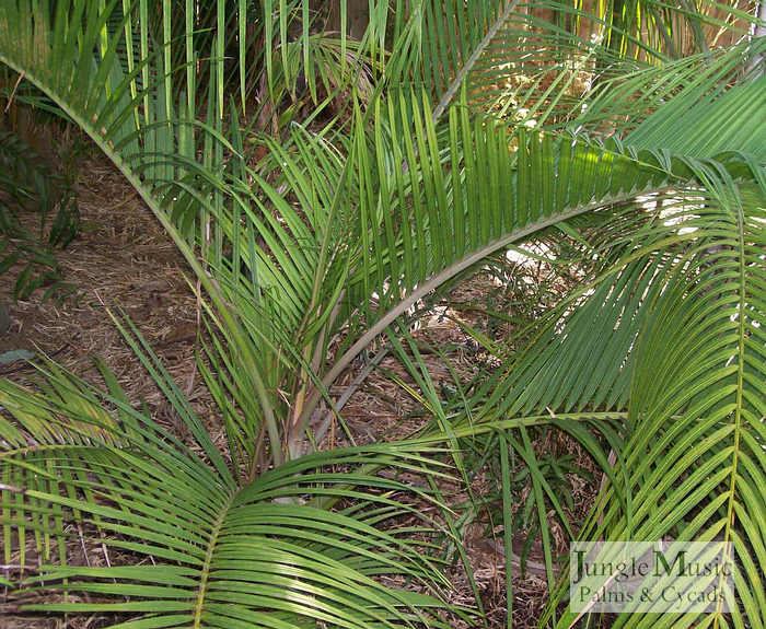 ../gallery2/gallery//large/palms/Dypsis_sp_Slick_Willy2FEB1707.jpg