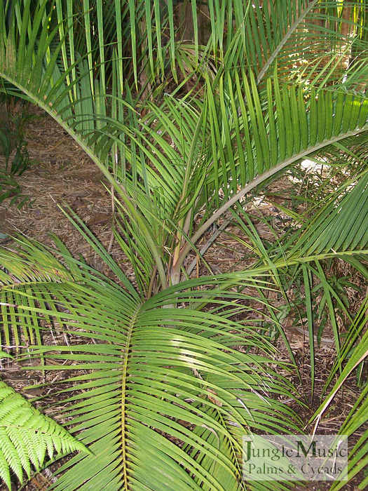 ../gallery2/gallery//large/palms/Dypsis_sp_Slick_WillyFEB1707.jpg