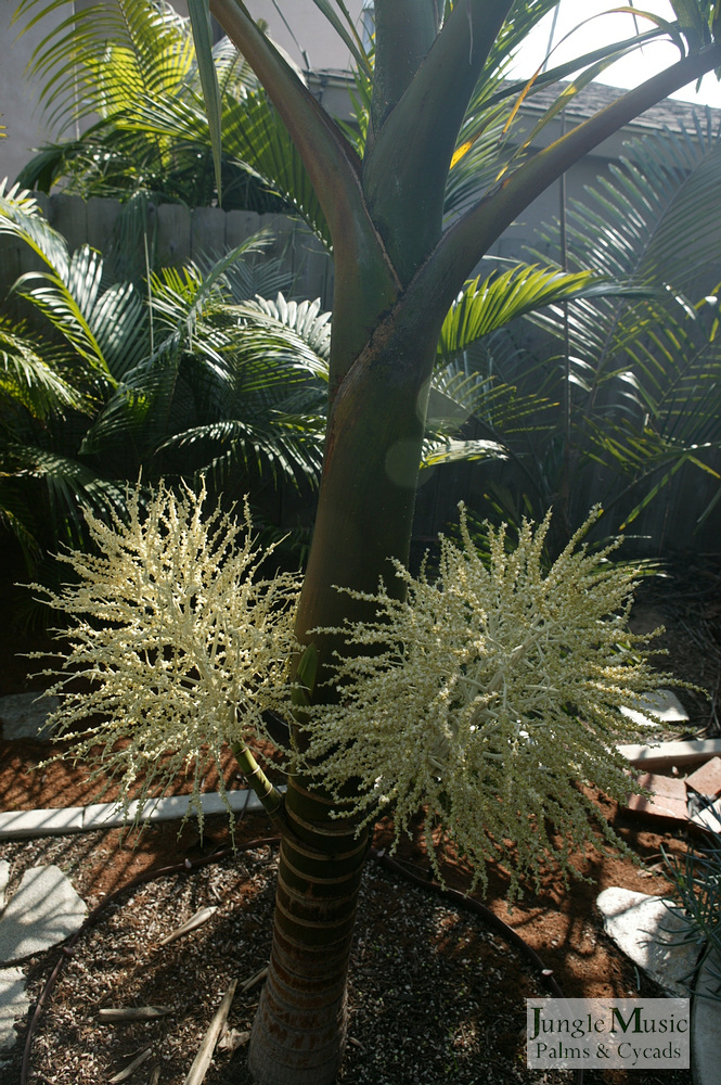 ../gallery2/gallery//large/palms/Hyophorbe_indica3_green-01072006.JPG