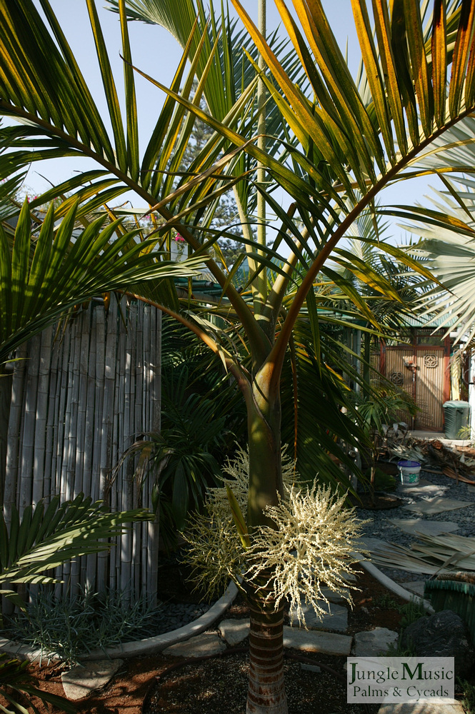 ../gallery2/gallery//large/palms/Hyophorbe_indica5_green-01072006.JPG