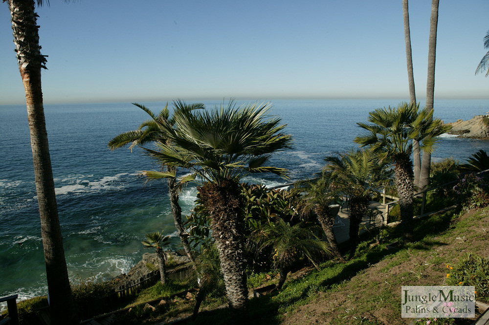 ../gallery2/gallery//large/palms/Oceanfront_Palms3-01072006.JPG