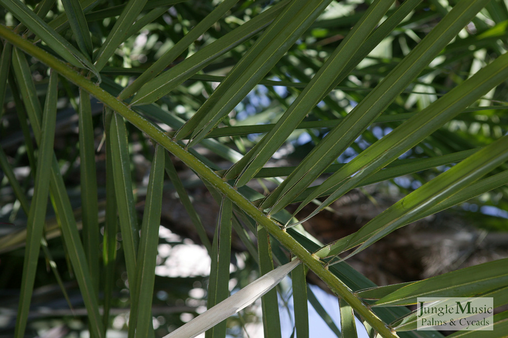 ../gallery2/gallery//large/palms/Phoenix_reclinata5_leafdeatail-01072006.JPG
