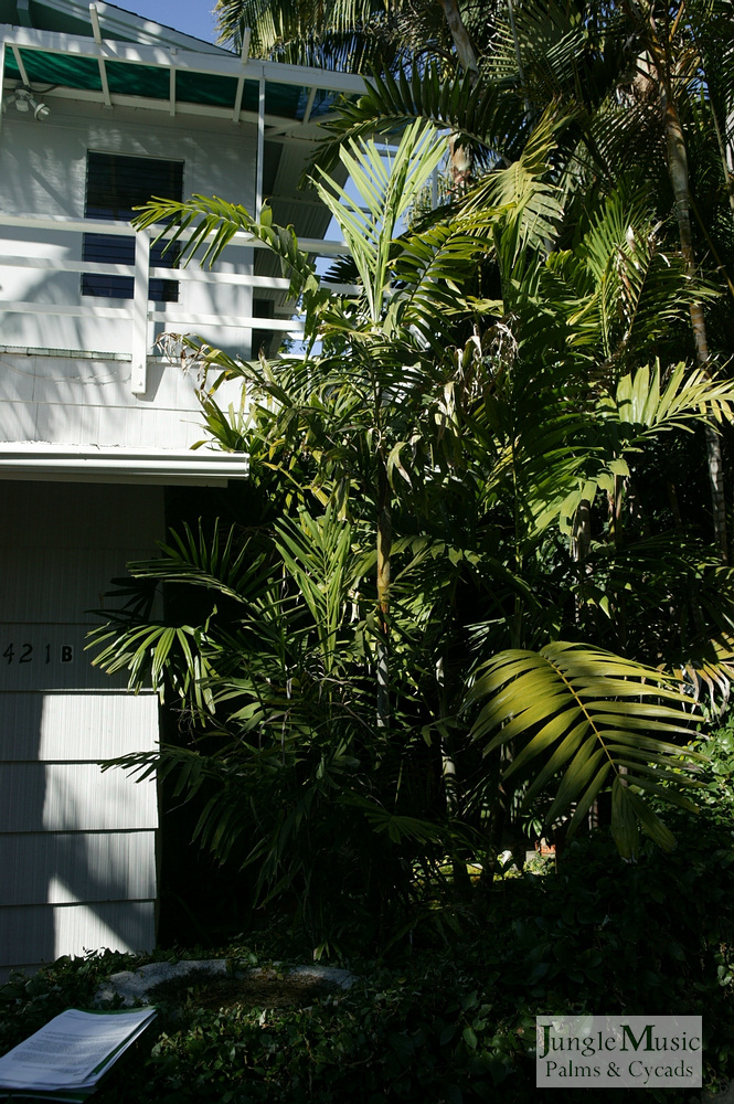 ../gallery2/gallery//large/palms/Ptychosperma_macarthurii1_oceanfront-01072006.JPG