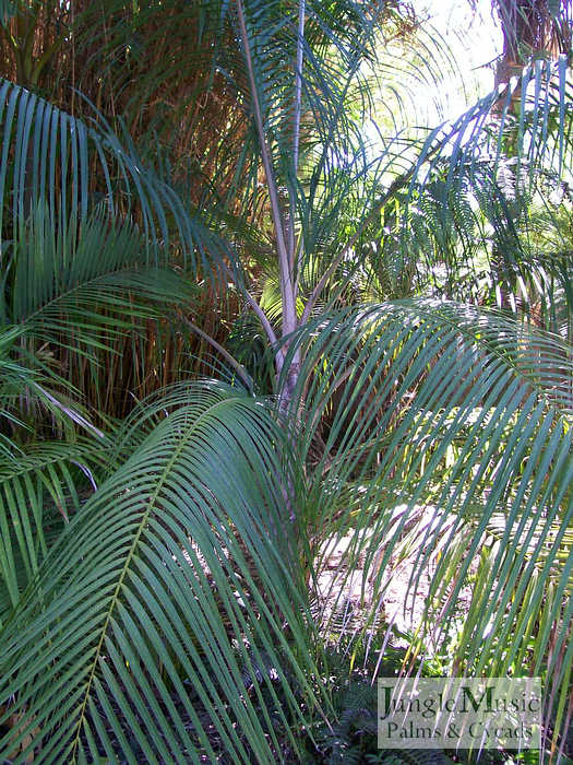 ../gallery2/gallery//large/palms/Ravenea_glauca2FEB1707.jpg