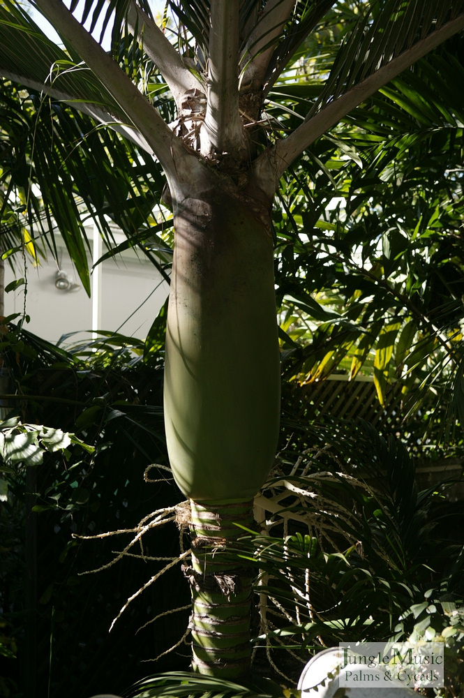 ../gallery2/gallery//large/palms/Rhopalostylis_crownshaft-01072006.JPG