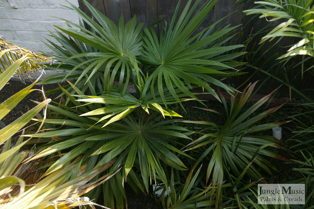 ../gallery2/gallery//large/palms/Schippia_concolor1-01072006.JPG