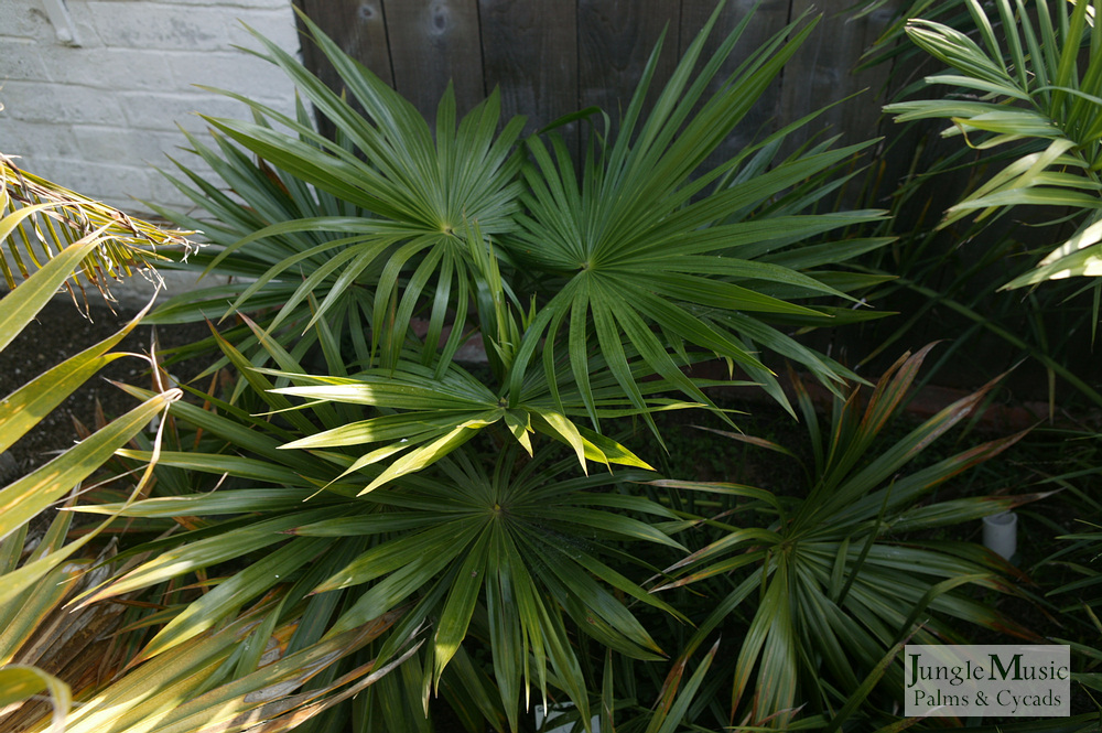 ../gallery2/gallery//large/palms/Schippia_concolor3-01072006.JPG