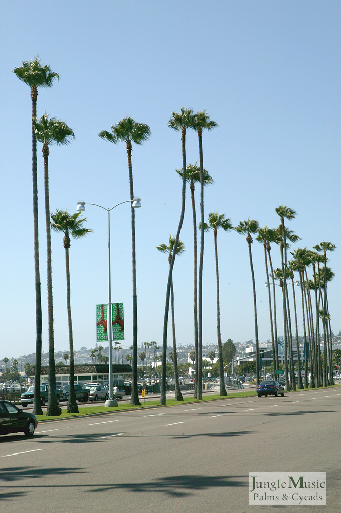 ../gallery2/gallery//large/palms/Washingtonia_robusta2_oceanfront-01072006.JPG