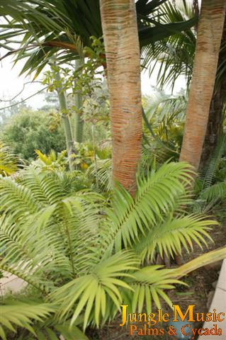 Cycads in tropical garden design