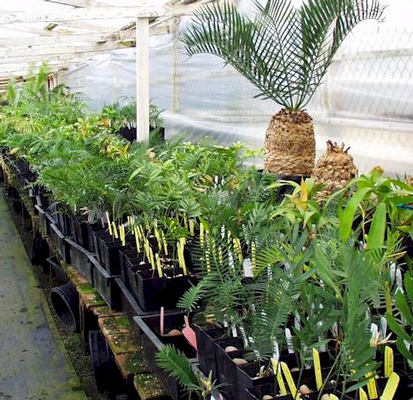 cycad seedlings