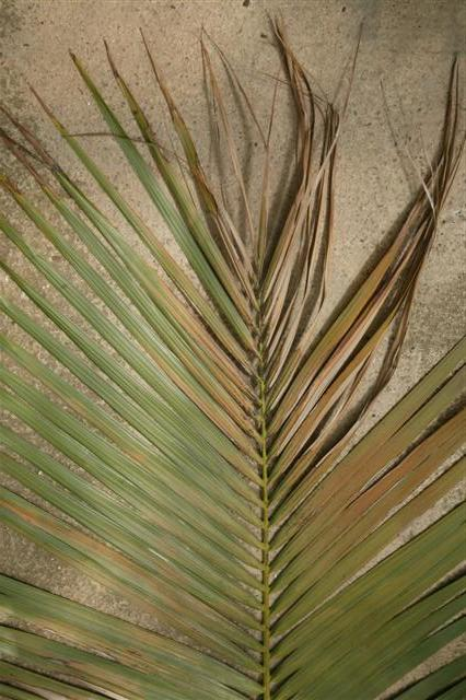 sunburn on palm leaf