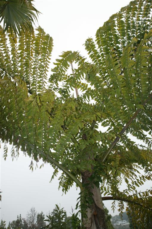 /new gallery 3/caryota gigas crown (large).jpg