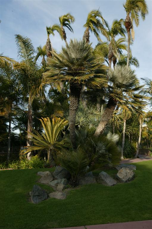 /new gallery 3/chamaerops humilus with cycads (large).jpg