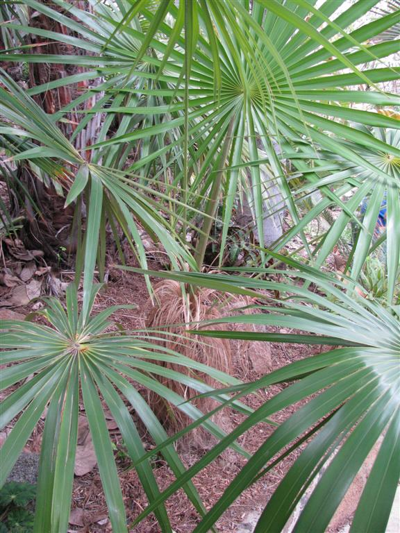 /new gallery 3/coccothrinax crinita 2 (large).jpg