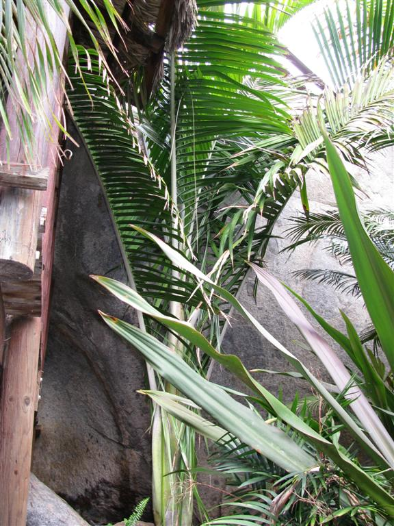 /new gallery 3/dypsis ceracea 3 (large).jpg
