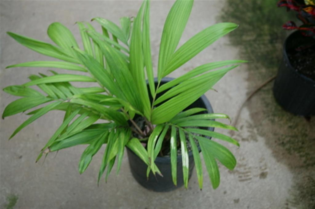 /new gallery 3/dypsis perrieri (large).jpg