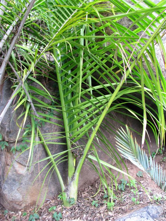 /new gallery 3/dypsis pululifera (large).jpg