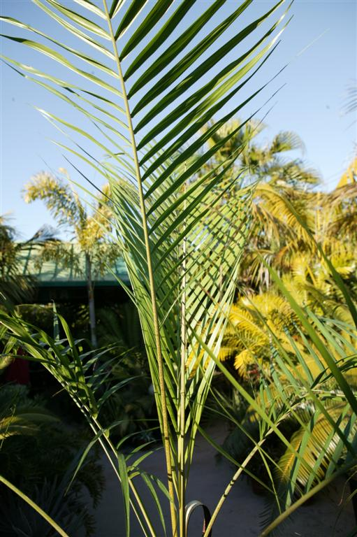/new gallery 3/dypsis utilus leaf (large).jpg