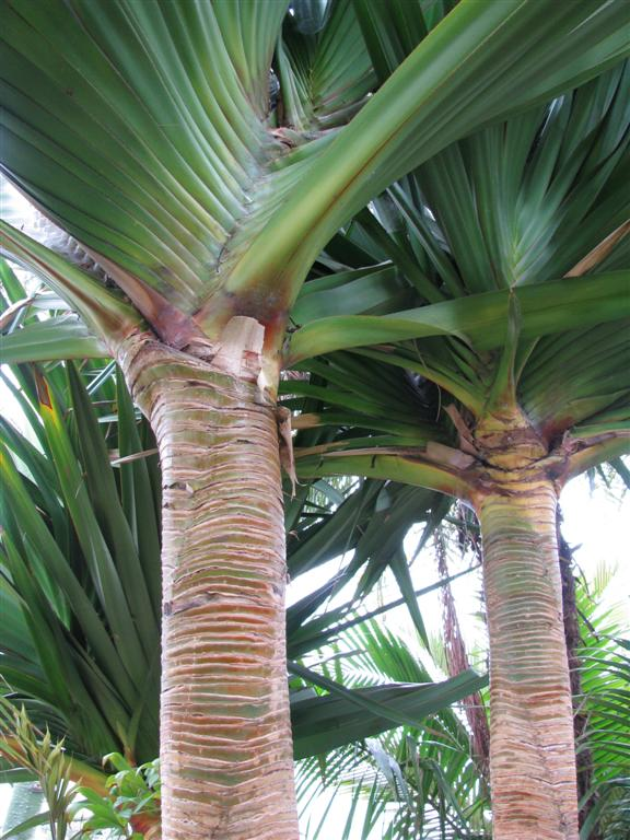 /new gallery 3/pandanus utilus (large).jpg
