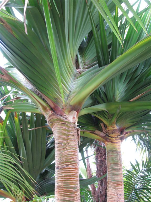 /new gallery 3/pandanus utilus 2 (large).jpg
