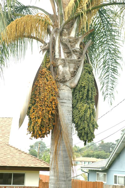 /new gallery 3/queen palm in fruit2 (large).jpg