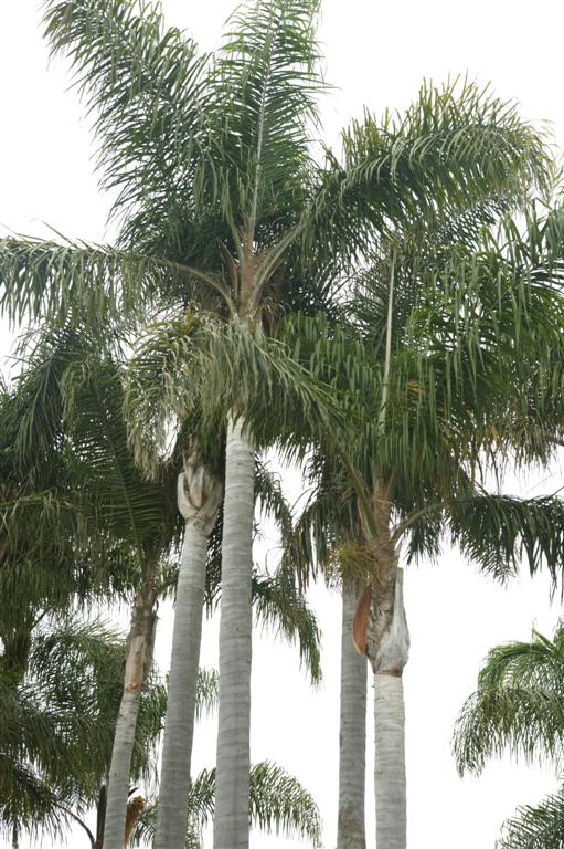 /new gallery 3/queen palms, park2 (large).jpg