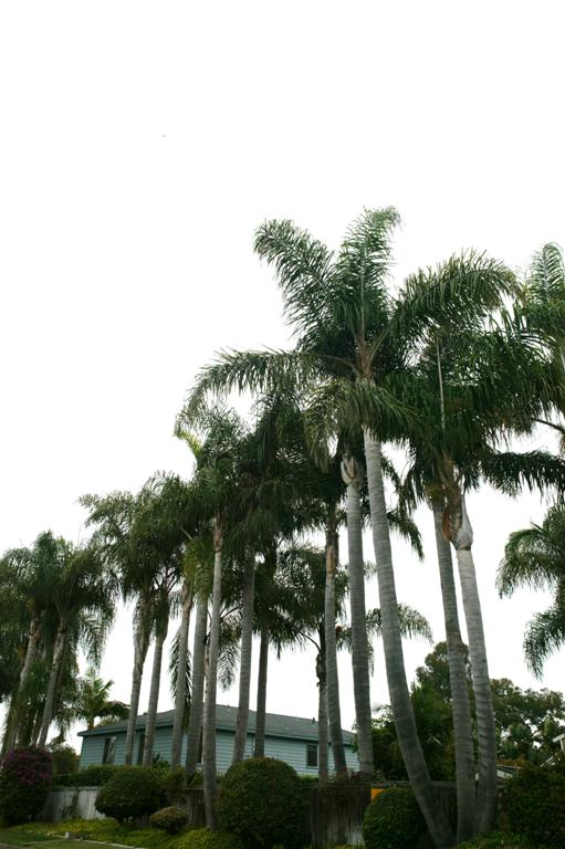 /new gallery 3/queen palms, triples2 (large).jpg