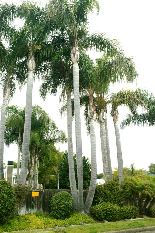 /new gallery 3/queen palms, triples4 (large).jpg