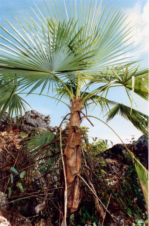 trachycarpus%20oreophilus,%20ruud,%20gol
