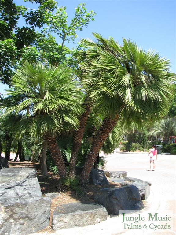 /new gallery2/chamaerops humilus sd zoo (large).jpg
