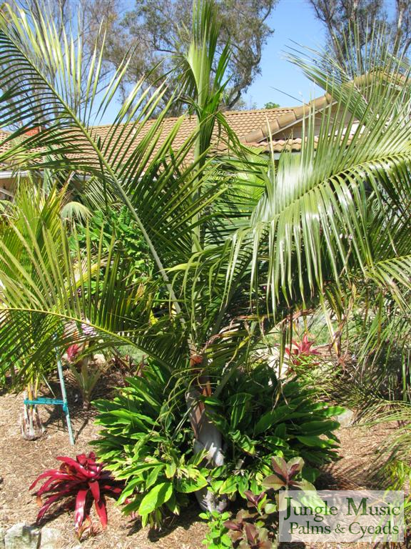 /new gallery2/dypsis leptocheilos x decaryi (large).jpg