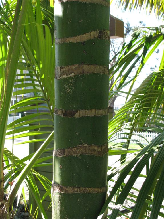 Howea forsteriana trunk