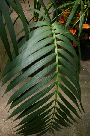 Howea forsteriana leaf