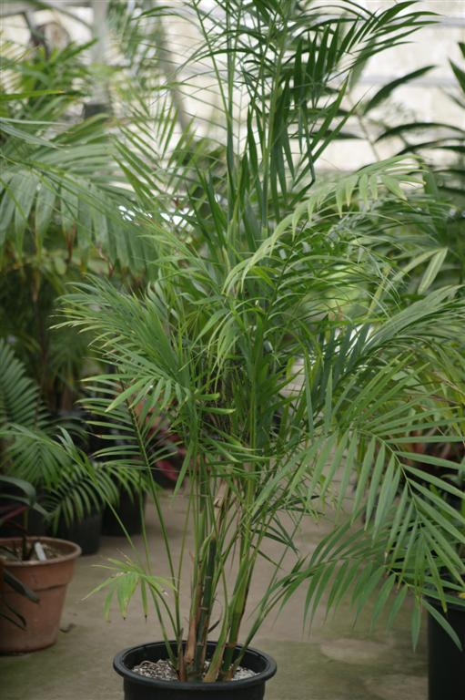 Indoor Palm Tree Types Palms as house plants culture