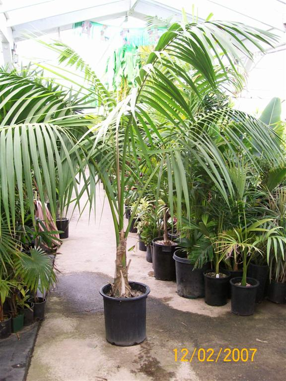 Palms As House Plants Culture Of Palm Houseplants The Best