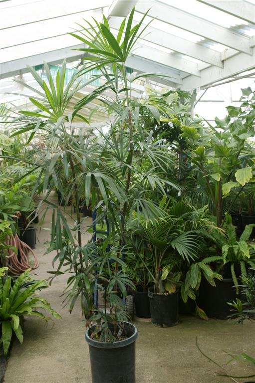 Potted Palm Tree Types Palms as house plants culture