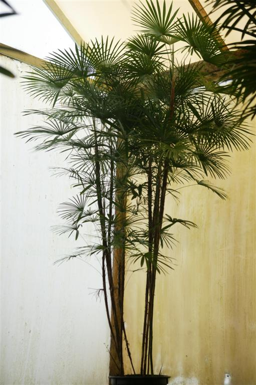 Palms As House Plants Culture of Palm Houseplants The Best Palms ...