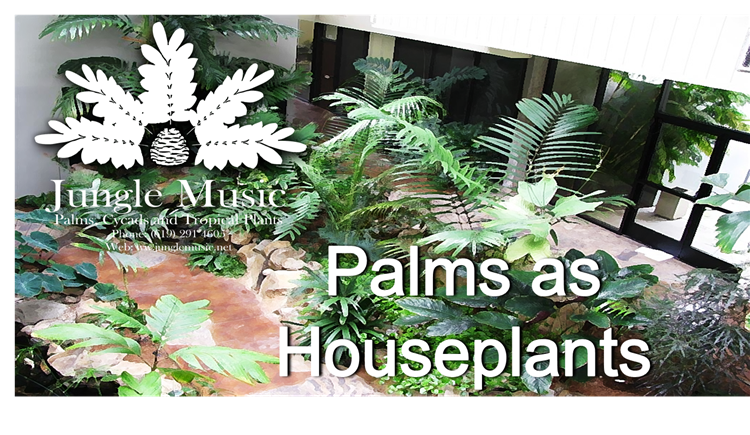 Palms As House Plants Culture of Palm Houseplants The Best ... on house plant schefflera arboricola, house plant palm care, bamboo tree, house plant flower, house plant orchid, house plant swedish ivy, yucca house plant tree, house plant arrow, house plant rubber plant, house plant grass, house plants that look like trees, low maintenance indoor plants tree, house plant pineapple, house plant house, house plant with green leaves and white, corn house plant tree, house plant umbrella tree, house plant bamboo, house plant propagation, house plant pink,