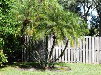 To A Mature Height In So Cal Of Twenty Feet. It Puts Out Multiple Stems.  Most Plants Carry About 8 To 10 Stalks. We Tell Customers Itu0027s A Great Palm  To ...